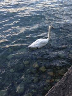 Cisne que veio atrás de uns turistas para ganhar uma migalha de pão